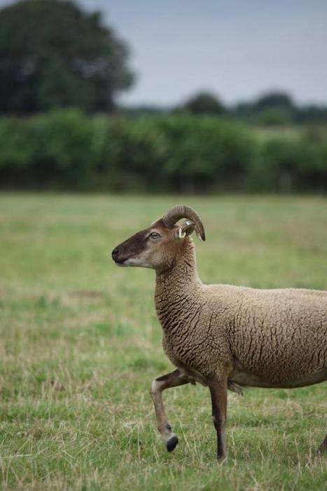 Daughter of a Shepherd Castlemilk moorit 1